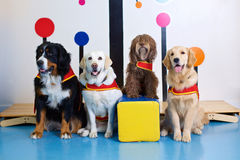 Therapy super dogs at work. A group of therapy super dogs posing for an organizational picture Stock Photography