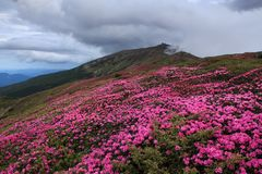 There is an abandoned observatory on the high mountain Pip Ivan, pink rhododendrons are growing on the lawn with the rocks. royalty free stock photography