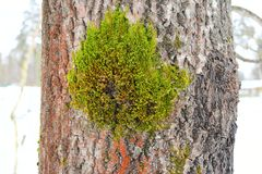 Free There Are Variations In Growth Types In A Single Lichen Species, Grey Areas Between The Growth Type Descriptions Royalty Free Stock Images - 111316609