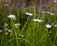 Camomiles flowers Royalty Free Stock Photos