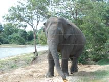 Asian elephant of sri lanka royalty free stock images