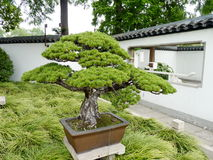 Pine bonsai. There is a beautiful green potted bonsai in Chinese intradition park Royalty Free Stock Photo