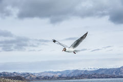 A gull flying in the sky Royalty Free Stock Photography