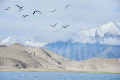 Many birds flying above the lake Stock Image