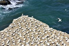 Gannets Island Stock Photography