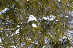 There is a bit of snow on the conifer twigs Stock Images