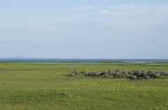 There are buffalo grazing field at thale noi lake, phatthalung Stock Image