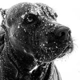 Cane corso italian mastiff winter snow eyes. There is cane corso Italian mastiff with face covered by snow and looking somewhere above on falling snow . She royalty free stock photos