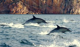 Leaping Dolphins. There are 41 different species of dolphins that have been identified. Some of them have been broken down from larger groups of species over Stock Image