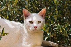 White cat posing in the sun. There are dozens of breeds, some without hair or even without tails, as a result of genetic mutations and years of artificial Royalty Free Stock Image