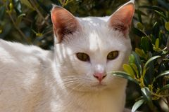 White cat posing in the sun. There are dozens of breeds, some without hair or even without tails, as a result of genetic mutations and years of artificial Stock Images