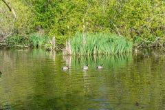 Three Ducks On Pond stock photo