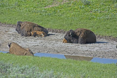 There is a family-social life of a herd. A day in the social life of a Bison family Stock Photography