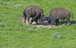 There is a family-social life of a herd. Two young Bison bulls play at fighting Royalty Free Stock Photo