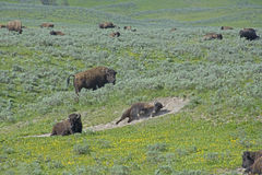 There is a family-social life of a herd. Yellow flowers and green grass of Yellowstone Stock Images