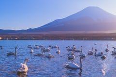 Mountain Lake, Swan royalty free stock photography