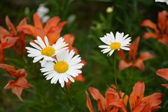 Chamomile and lily. There are flowers in the garden. Chamomile and lilies Royalty Free Stock Photography