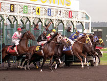 There They Go. Thoroughbreds coming out of the starting gate Royalty Free Stock Photography