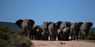 There go the Elephants Stock Photography