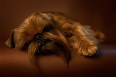 Brussels Griffon`s studio shot on brown background stock photos