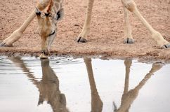 Giraffe stoops to drink, Kgalagadi Transfrontier National Park , South Africa Stock Image