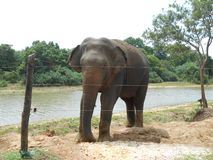 Asian elephant. It is very nice royalty free stock photos