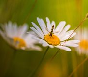 Hoverfly insect resting on a daisy daisy flower in a soft and warm light stock photography