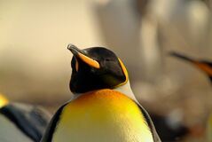 Free There Is A King Penguin In The Yellow Pasture. Royalty Free Stock Photography - 204543047