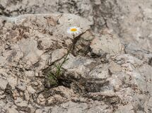Free There Is Hope, Daisy Growing On A Boulder Stock Image - 181386581