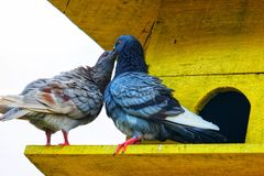 Many pigeons perch on the yellow roof tile. royalty free stock photos