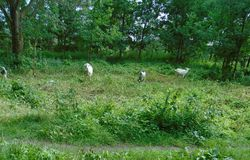 Goat enjoy the green grass stock images