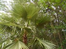 Green palm tree royalty free stock photos