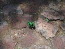 A green plant grows between bricks royalty free stock image