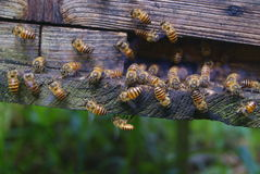 There are a lot of bees to climb on the wooden cases Royalty Free Stock Image