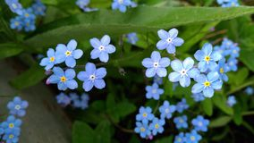 Lovely forget-me-nots stock images