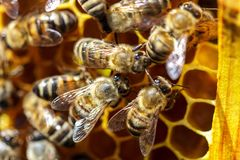 There are a lot of striped bees that sit on honeycombs royalty free stock image