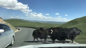 There are several yaks in front of us in the endless prairie stock images