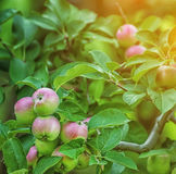 There are many apples on the branches of a tree stock photo