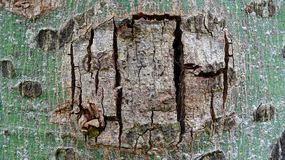 There are many cracks on the bark royalty free stock photography