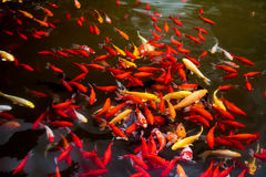 There are many fish in the pond Stock Photos