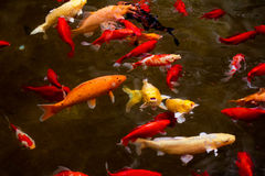 There are many fish in the pond Stock Images