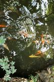 There are many fish swimming in the pond royalty free stock images