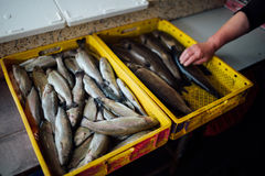 There are many fresh fish in the box Royalty Free Stock Photo