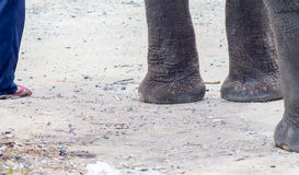 There are many stray elephants in Asia. Have to suffer from walking on hot concrete roads or dirt roads Royalty Free Stock Images