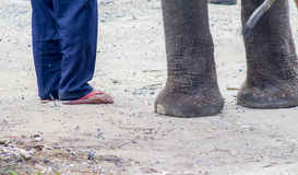 There are many stray elephants in Asia. Have to suffer from walking on hot concrete roads or dirt roads Stock Photo
