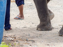 There are many stray elephants in Asia. Have to suffer from walking on hot concrete roads or dirt roads Royalty Free Stock Photography