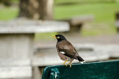 Mynas is on a chair in the park. stock image