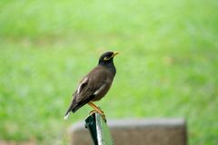 Mynas is on a chair in the park. stock photography