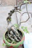 Ginseng in flowerpot stock photos