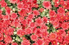 Millions of red autumn flowers Royalty Free Stock Photos